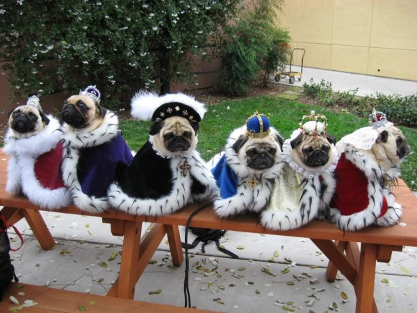 funny pug dog pictures