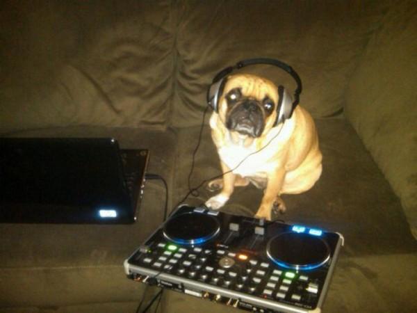 funny pug photos