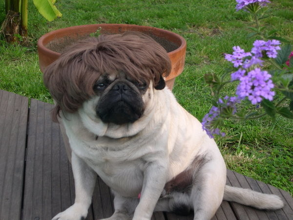 funny pugs pictures