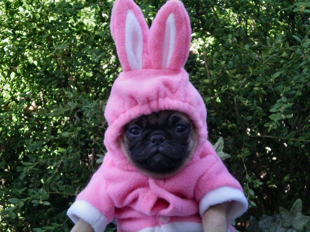 hilarious pug pictures
