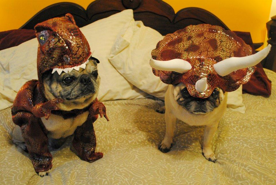 pug funny pictures