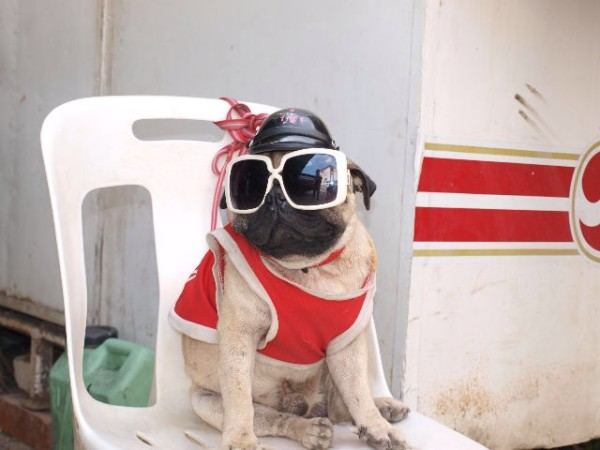 pug pictures funny