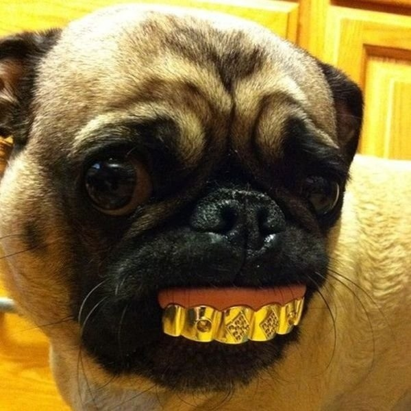 pugs funny pictures