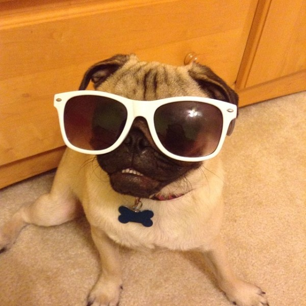 silly pug pictures
