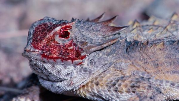 Blood in the eyes of Horned Lizards