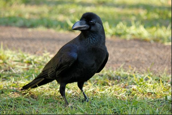 Facts about crows