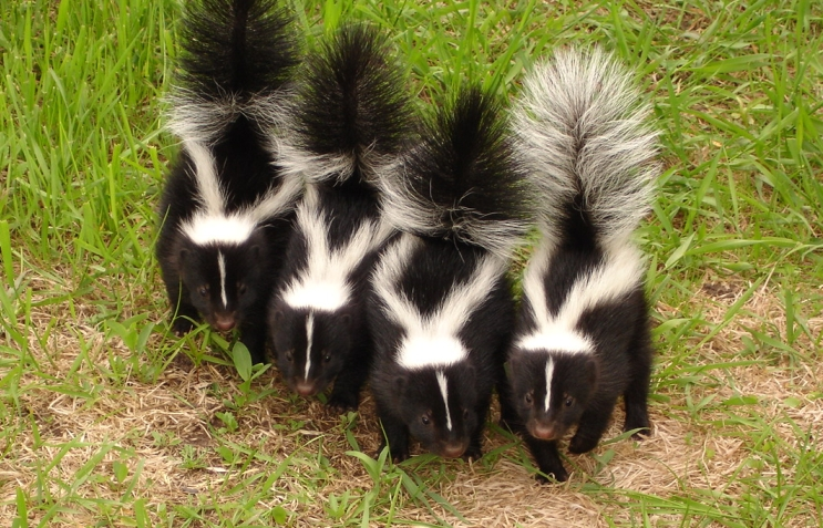 SKUNKS photos and pictures