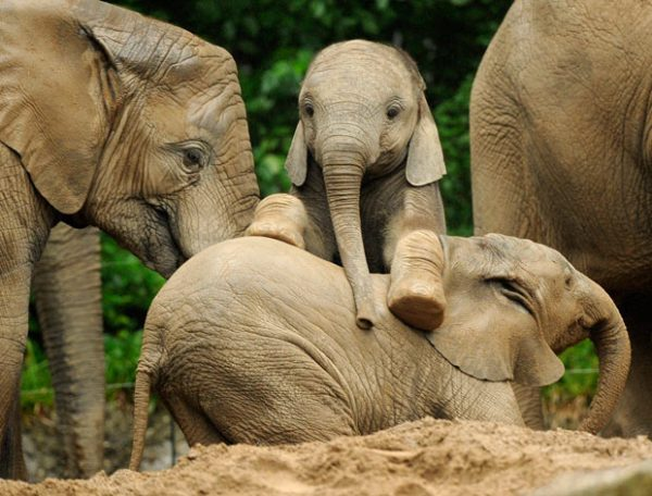 Young elephants are so fast and active