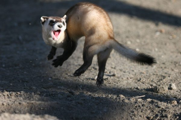 excited ferret photo
