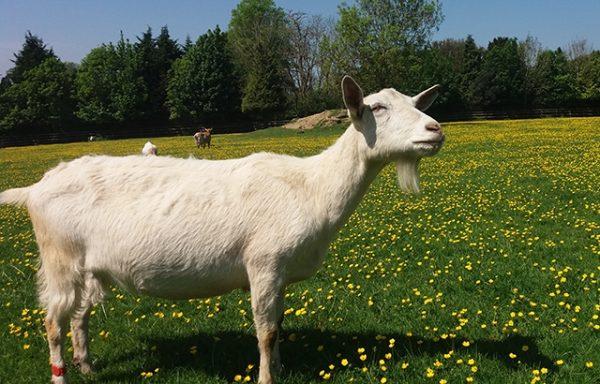 stone-dead goat