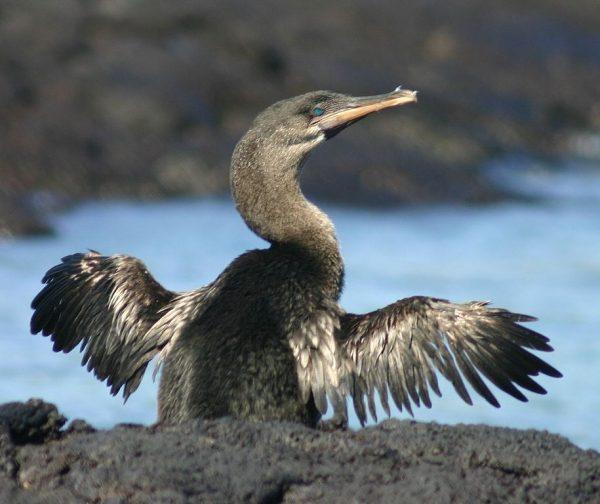 flightless-cormorant