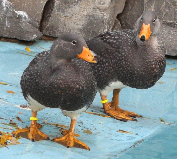 fuegian-steamer-duck