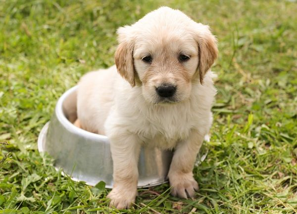 cutest golden retriever puppy of all time