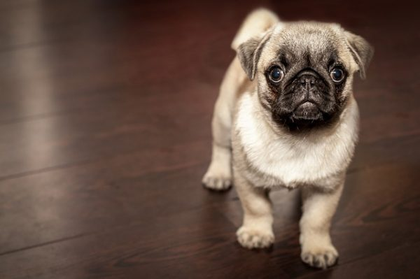 cutest pug of all time